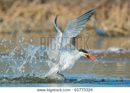 Caspian Tern After A Successful Dive