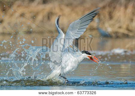 Caspian Tern After A Successful Dive