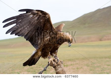 Bound Golden Eagle