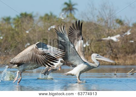 Pink-backed Pelicans During Take Off In The Mangroves