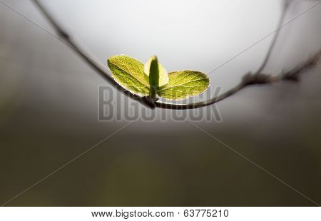 Spring Fresh Leaves On  Branch In A Forest