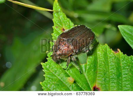 Beetle (cetonia)