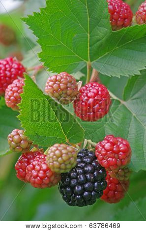 Blackberry Plant