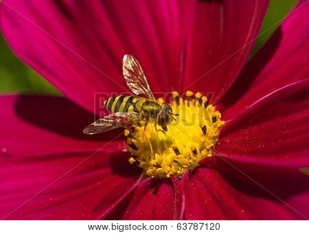 Hoverfly on a Red Flower.
