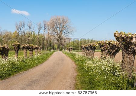 Country Road With Pollard Willows