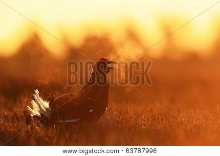 Black Grouse Shouting At Sunrise
