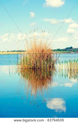 Seedy Reed Stalks On The Lake