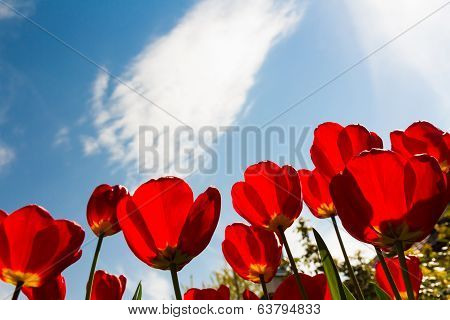 Red tulips and blue sky