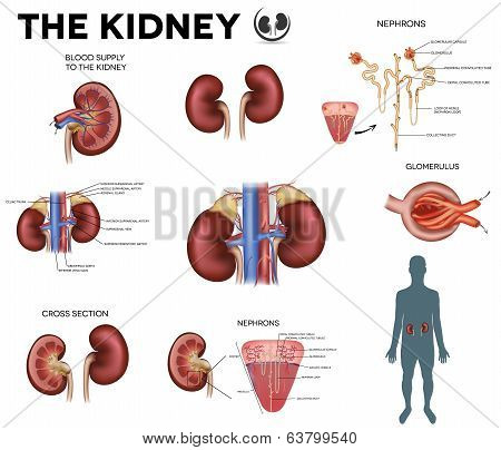 The Kidney Big Colorful Poster, Detailed Diagram.