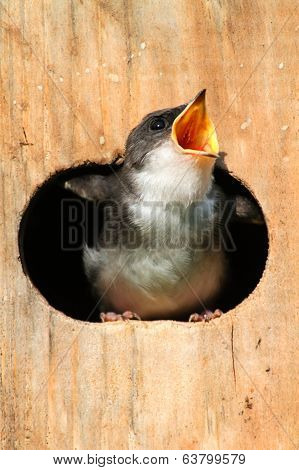 Baby Tree Swallow Begging For Food