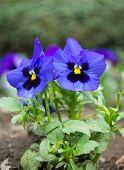image of viola  - Flowerbed of blue tricolor violas in the spring park  - JPG
