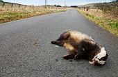 picture of badger  - Badger lies on the side of the road after being hit by a speeding vehicle - JPG