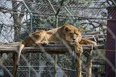 picture of lioness  - Lioness lying and resting in a zoo - JPG