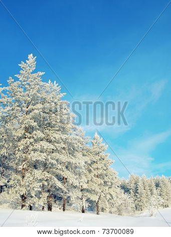 Beautiful Winter Landscape, Snow Covered Pines