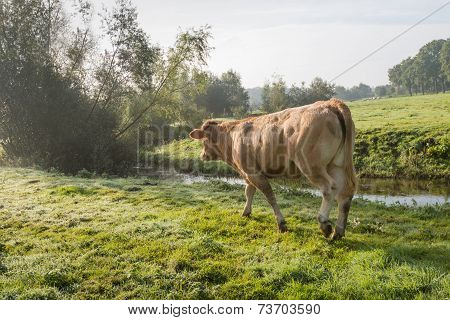 Cow Walking In Dewy Grass