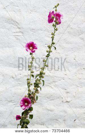 Hollyhocks On White Background