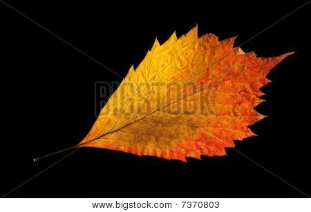 Yellow-golden Autumn Leaf On Black