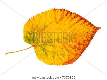 Yellow-golden Autumn Leaf On White