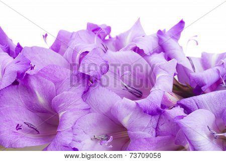 biorder of gladiolus flowers