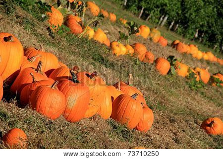 Pumpkin patch with rows to choose from