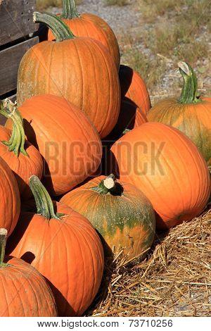 Bright orange pumpkins on straw