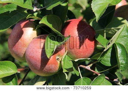 Three apples ripe for picking