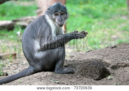 Sooty Mangabey With A Clod Of Earth