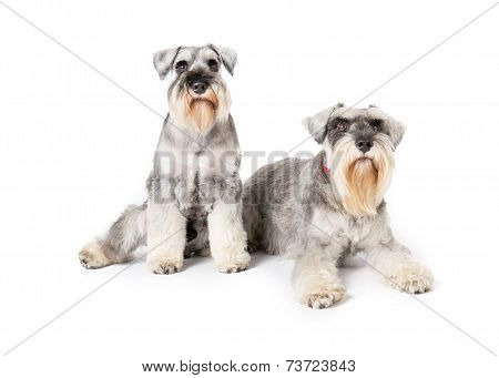 Picture of two miniature schnauzers