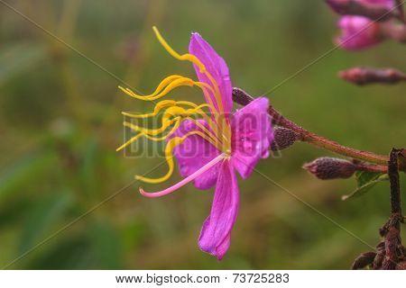 Purple Malabar Flower