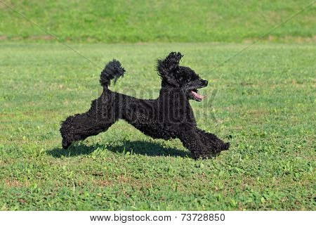 Pet Poodle Dog In Action