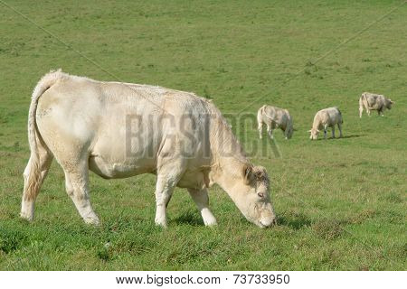 white cows eating