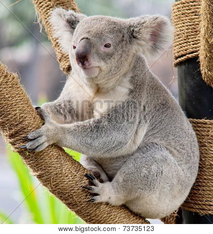 Koala Relaxing at the Zoo