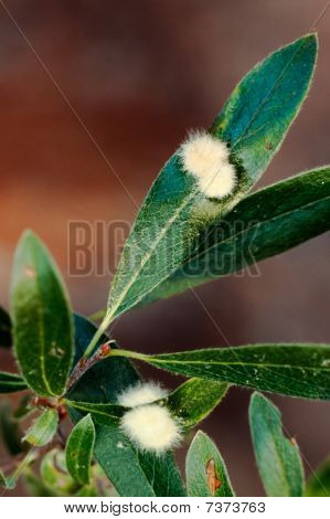 Furry Galls On Willow Leaves