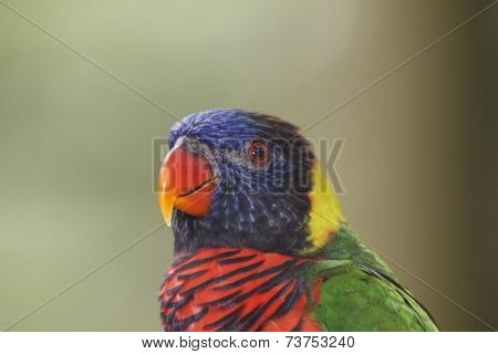 Portrait Rainbow Lorikeet bird