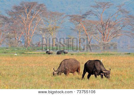 Grazing African buffaloes (Syncerus caffer), Lake Nakuru National Park, Kenya