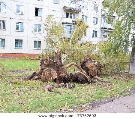 Uprooted poplar after Hurricane Zelenogorsk