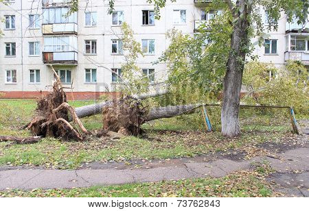 Fallen poplar crushed fence after Hurricane