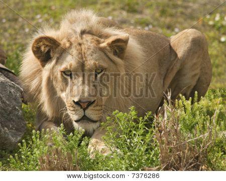 Lion Stalk