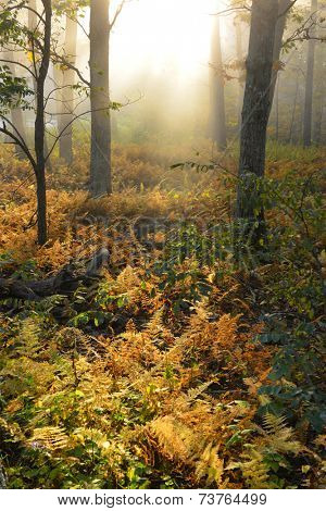 Foggy forest in Autumn colors - Shenandoah National Park, VA