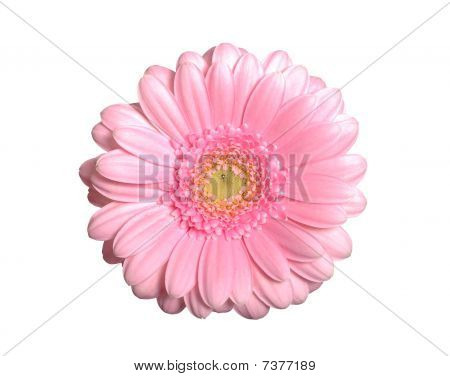 Pink Gerbera Isolated