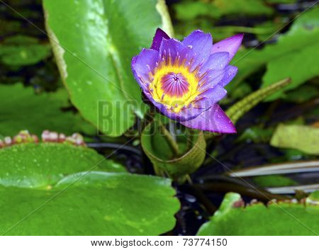 Mauve water lilies blooming in a garden pond