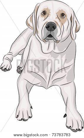 Vector Labrador