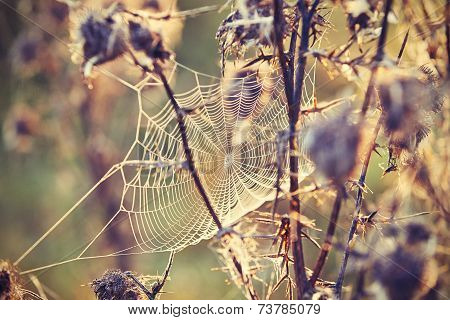 Thistle With Cobweb