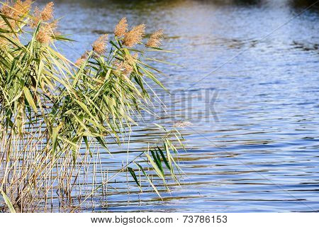 Bulrush Flowers And Leaves