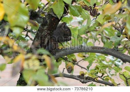 Squirrel, Black in a Tree