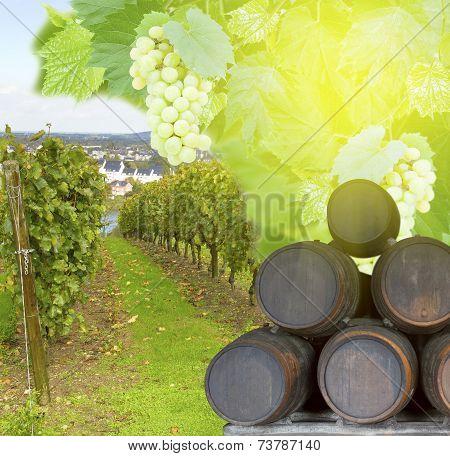 wine yard with grape