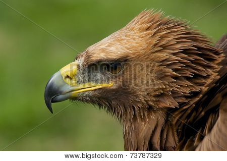 Close-up Of Golden Eagle Head Looking Down