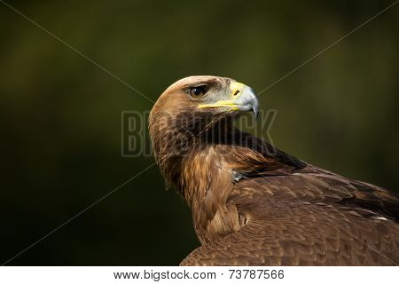 Close-up Of Golden Eagle Looking Over Back