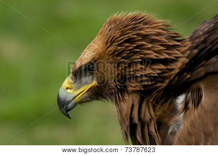 Close-up Of Golden Eagle With Ruffled Feathers