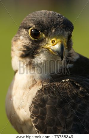 Close-up Of Peregrine Falcon Head And Neck